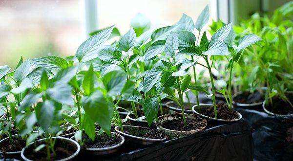Чем подкормить рассаду перца и помидор в домашних условиях