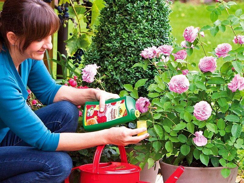 Подкормка роз ранней весной