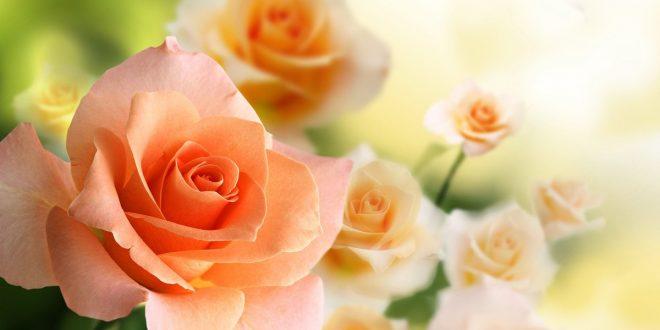 Чем полить розы после зимы