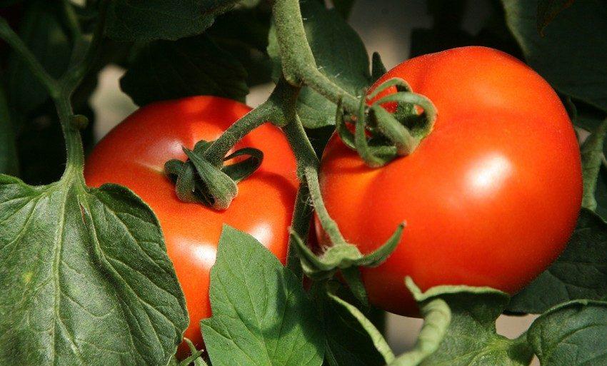 посев мелиссы на рассаду в домашних