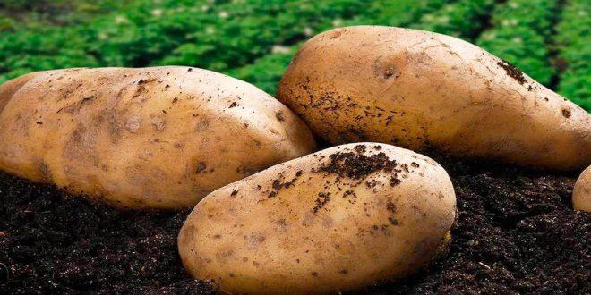 Чем обработать картошку перед посадкой