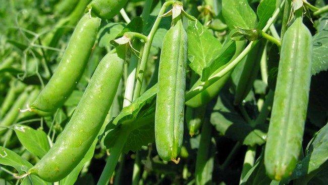 Посадка гороха весной посев когда сеять как сажать правильно