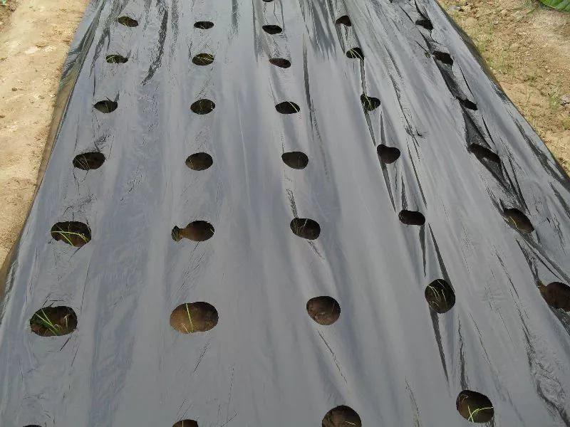 Как посадить клубнику на черный укрывной материал