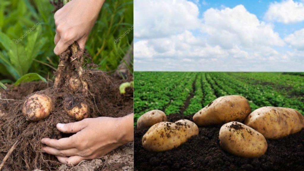 kartofel-na-zemle