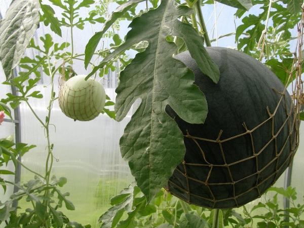 Фото virashivanie arbuza v podmoskovye
