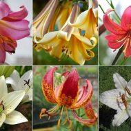 Лилии: виды, сорта, названия с фото, советы по уходу