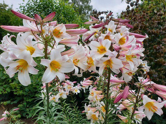 Фото sorta lilii