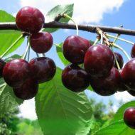 Правильная подкормка вишни и подбор удобрений для нее осенью