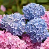 Как правильно размножить гортензию в осеннее время