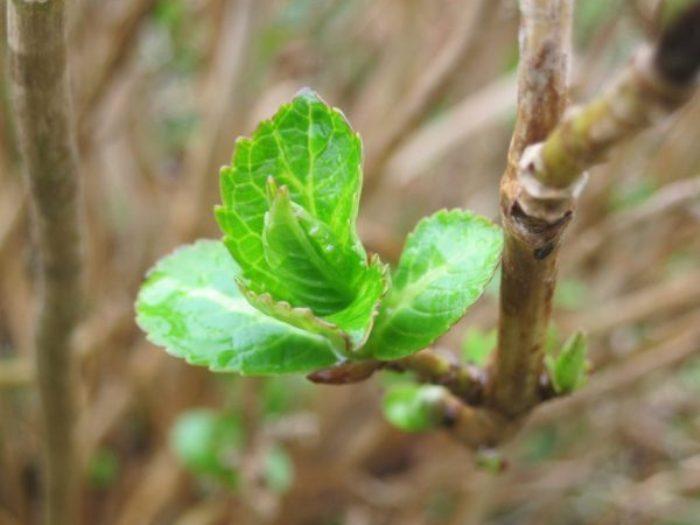 Размножение гортензии осенью отводками