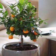 Как ухаживать за каламондином, чтобы он обильно цвел и плодоносил