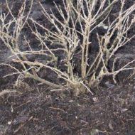 Удобрения для крыжовника осенью, уход и подготовка к зиме
