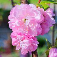 Луизеания – 6 названий одного вида растения, описание, размножение, уход