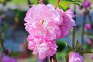 фото-rozovie-cveti