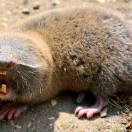 Все о животных слепышах: чем питаются, есть ли глаза, как выглядит, детеныши, фото