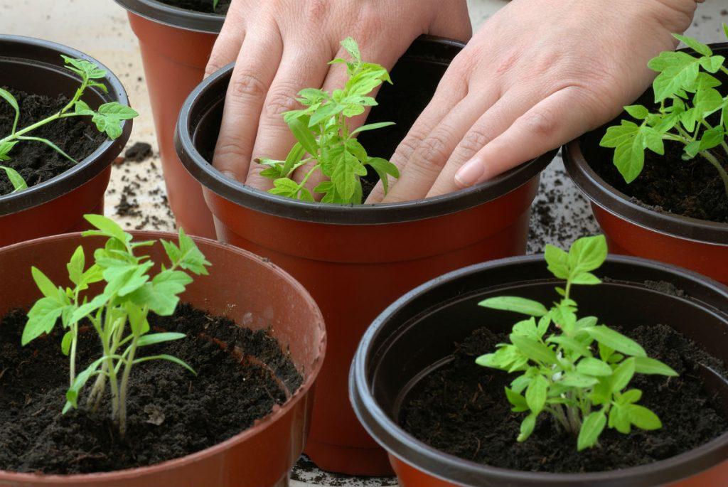 фото-3-pomidori-na-rassadu