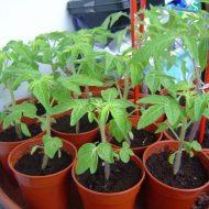 Что делать, если рассада томатов вытянулась и тонкая, чтобы стала крепкой и толстой