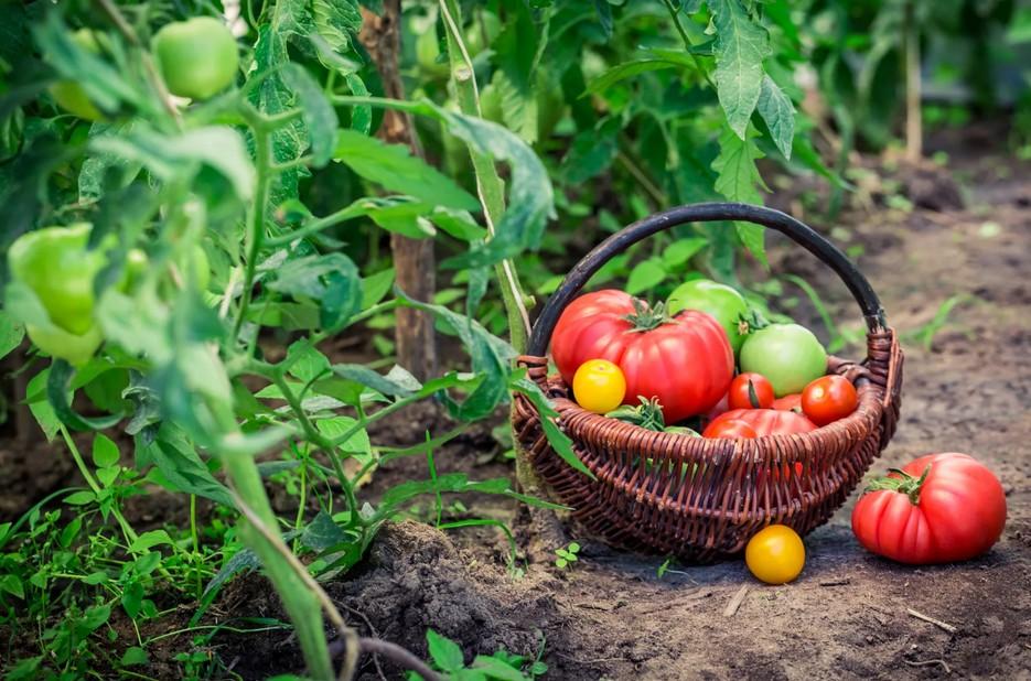 корзина помидор