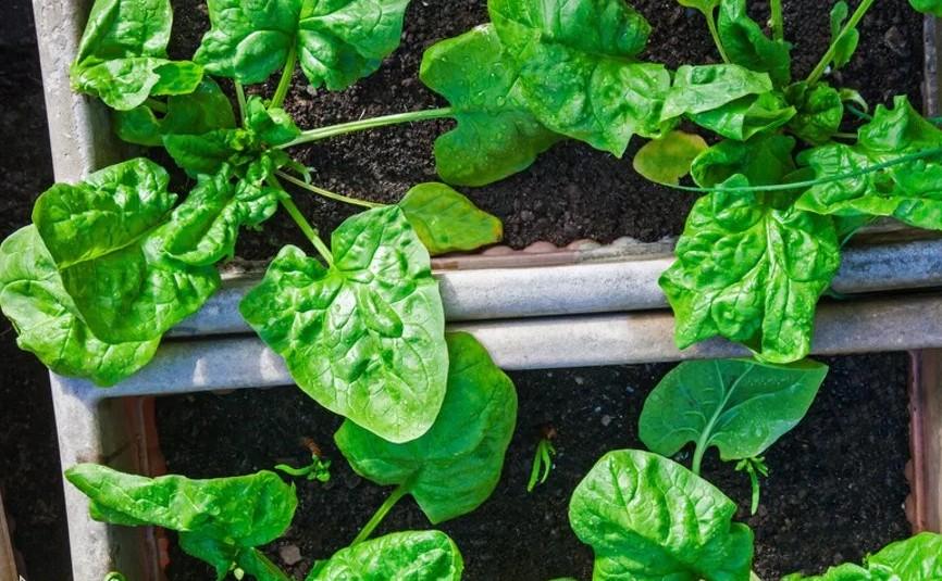 Почва для шпината