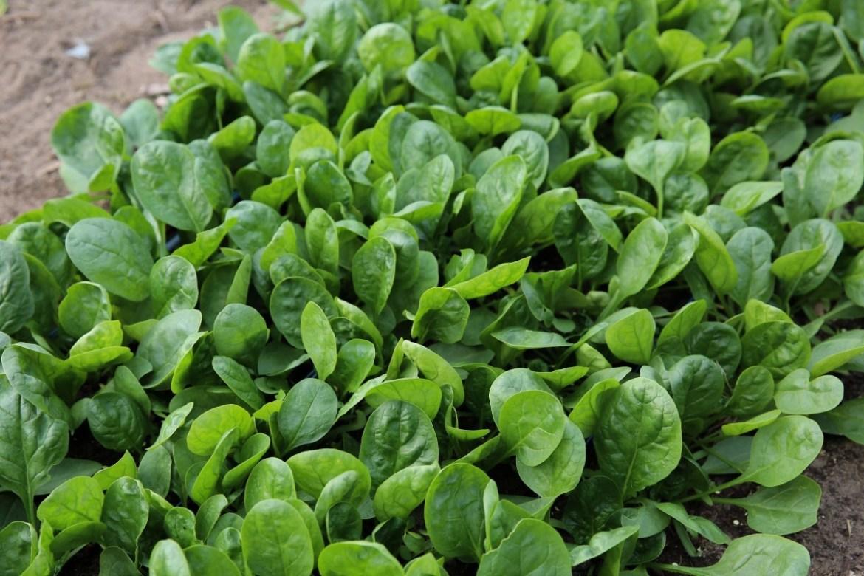 Растение шпинат