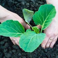 Почему гибнет рассада капусты и желтеют листья: причины и лечение