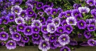 Композициями из цветочной культуры дизайнеры и дачники часто оформляют сад