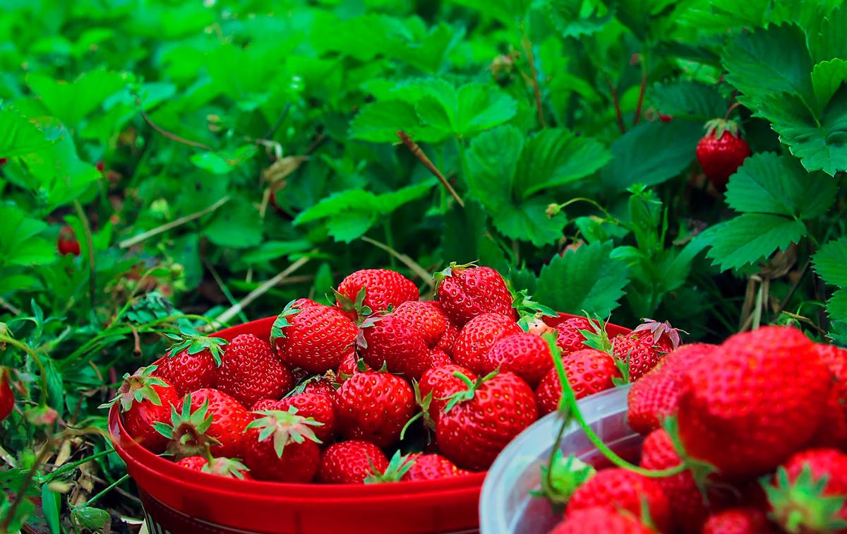 Весенняя обработка ягодника обещает обильный урожай