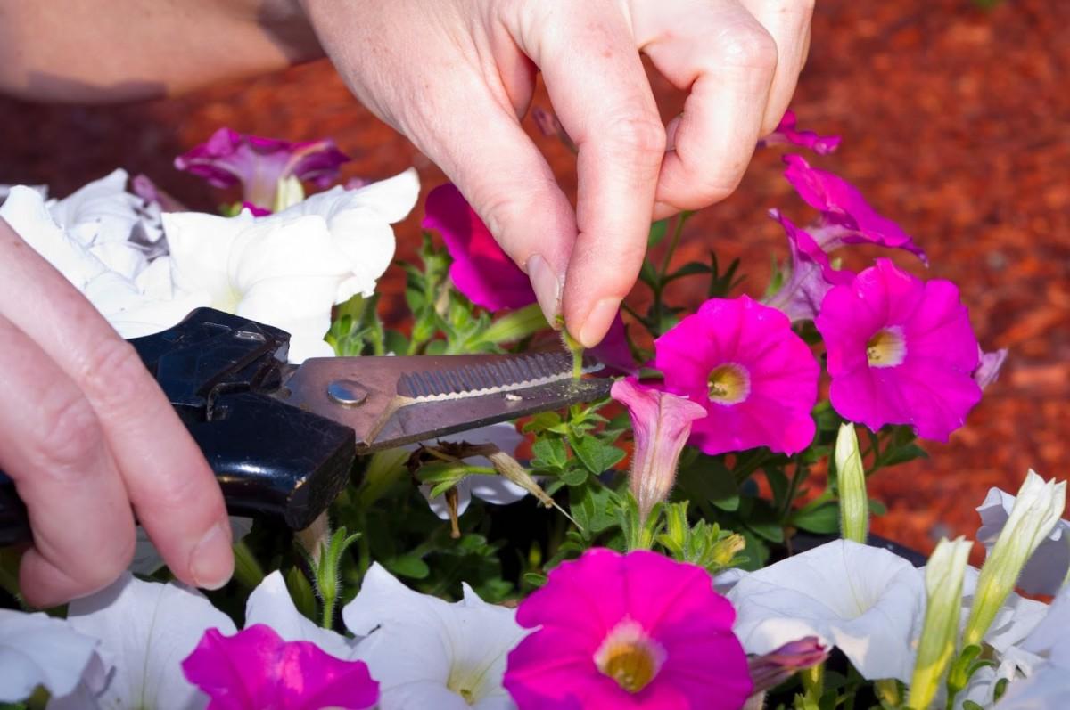 Пинцировка цветущей петунии