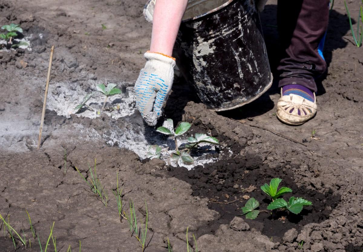 Зола – ценное удобрение для садовой земляники