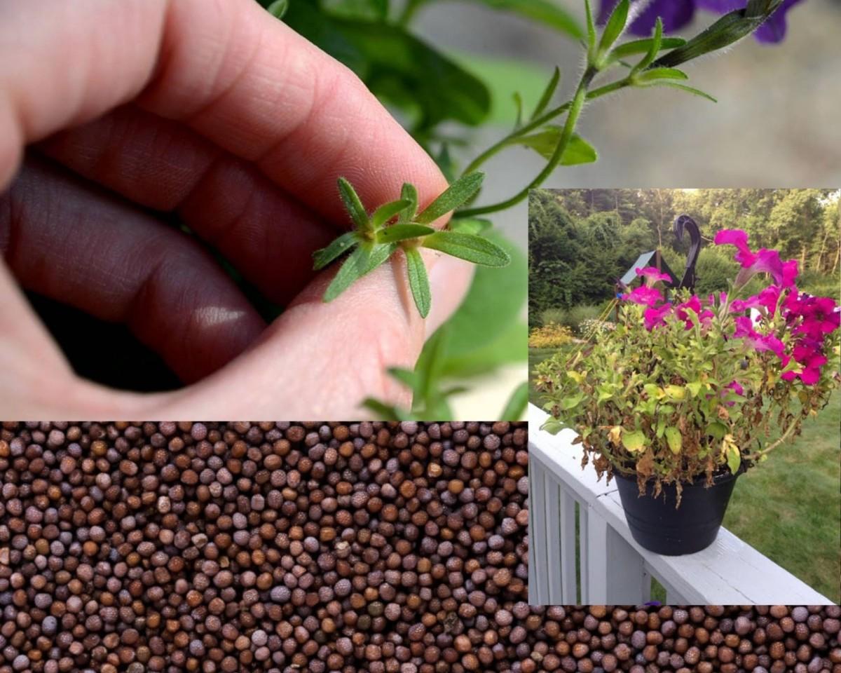Семена петуньи