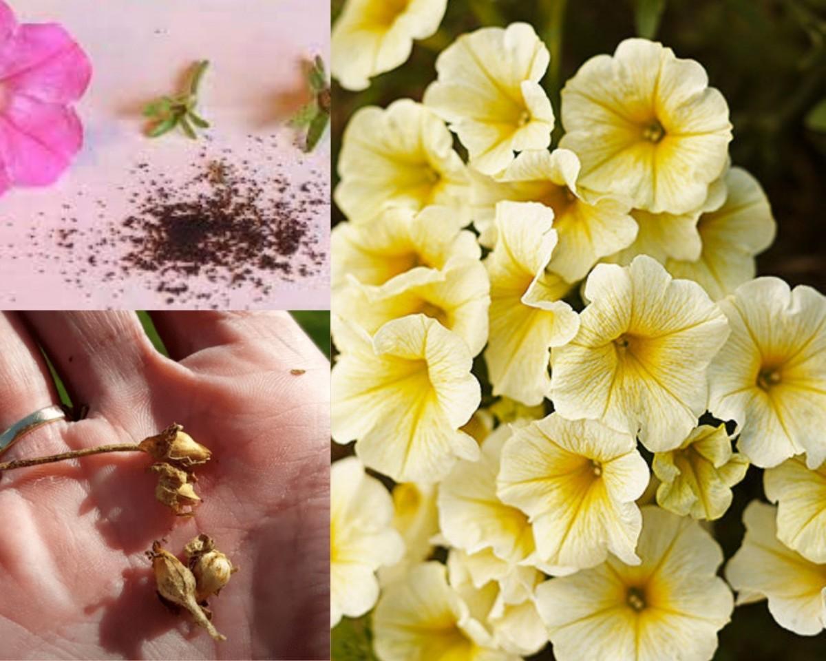 семена и цветы петуньи (2)