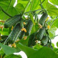 Лучшие сорта кустовых огурцов: посадка, выращивание и уход