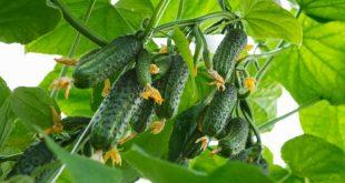 Огурцы растут пышным букетом