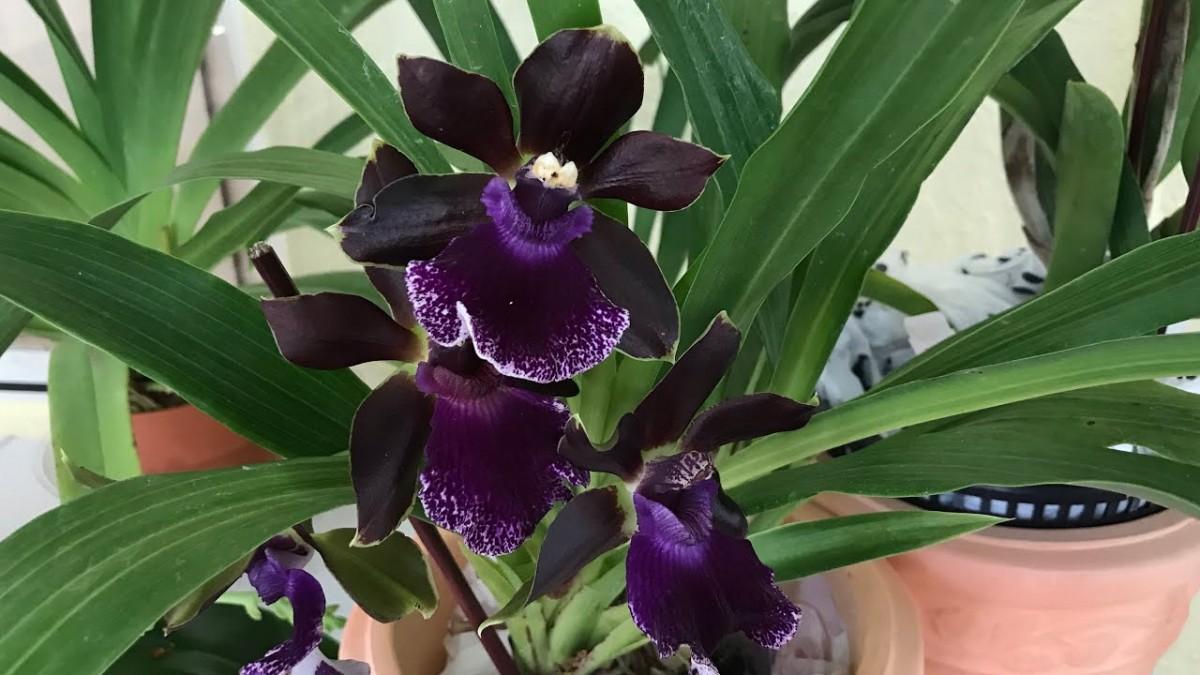 Черная орхидея во время цветения