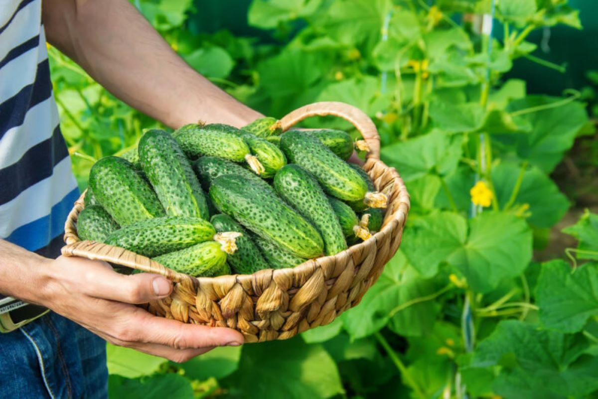 Кустовые виды дают обильный урожай