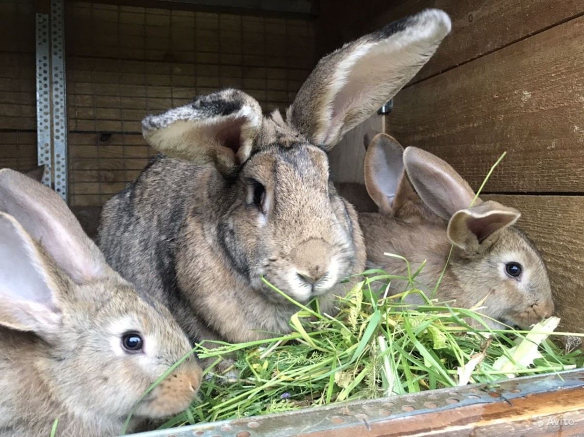 Кроликам нравится травяной салат