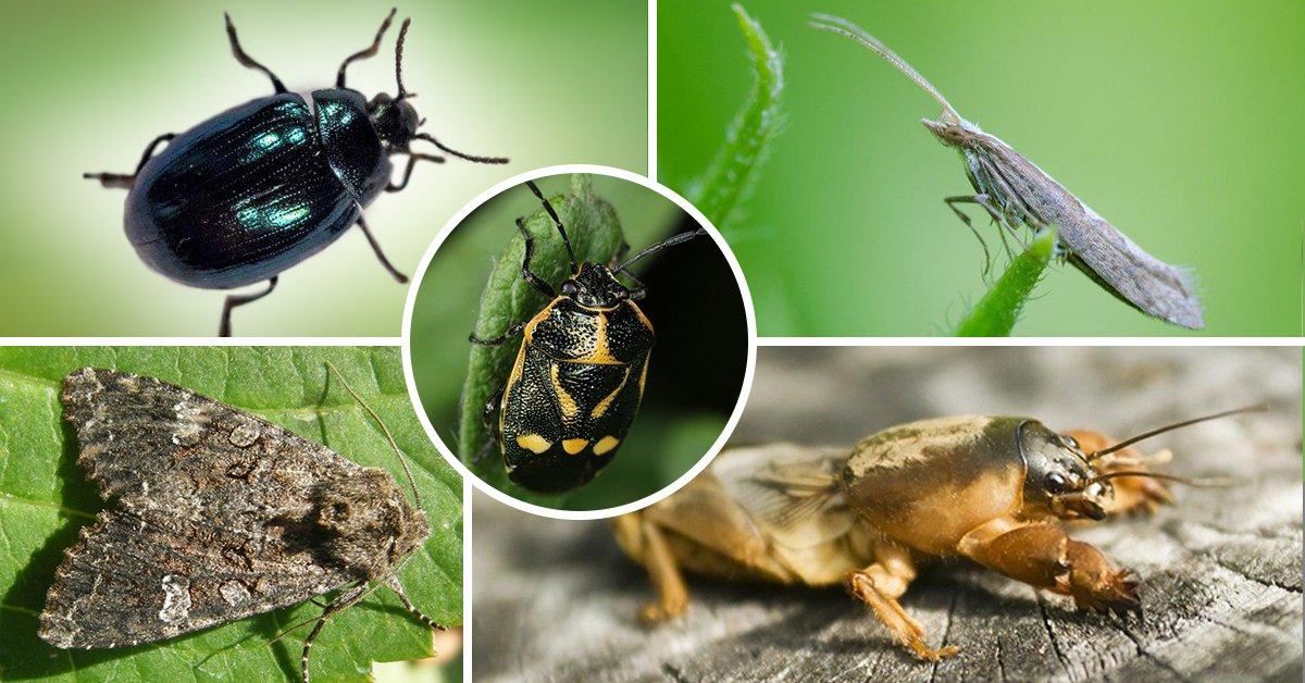 Многоядные насекомые любят полакомиться капусткой