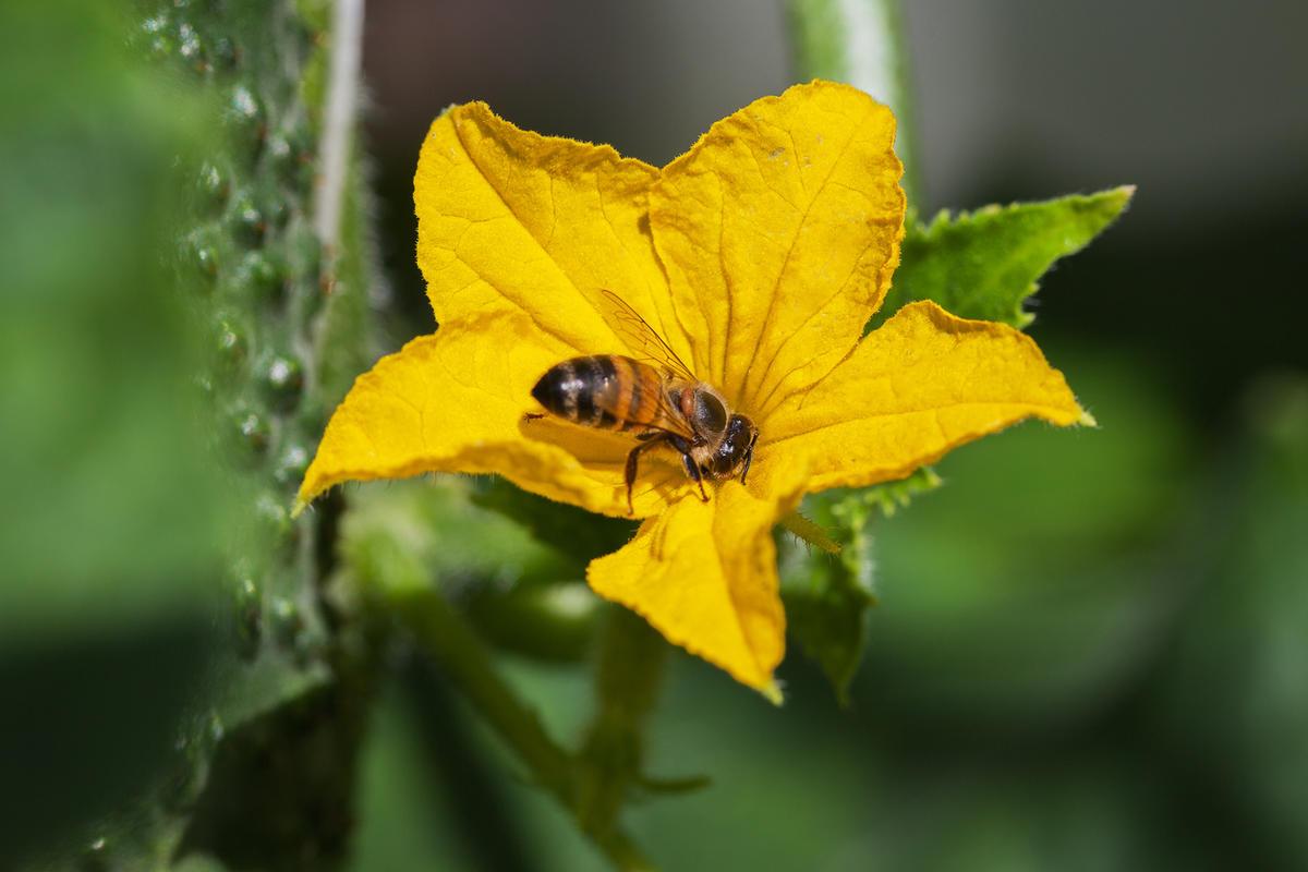 Эти сорта опыляют пчелы