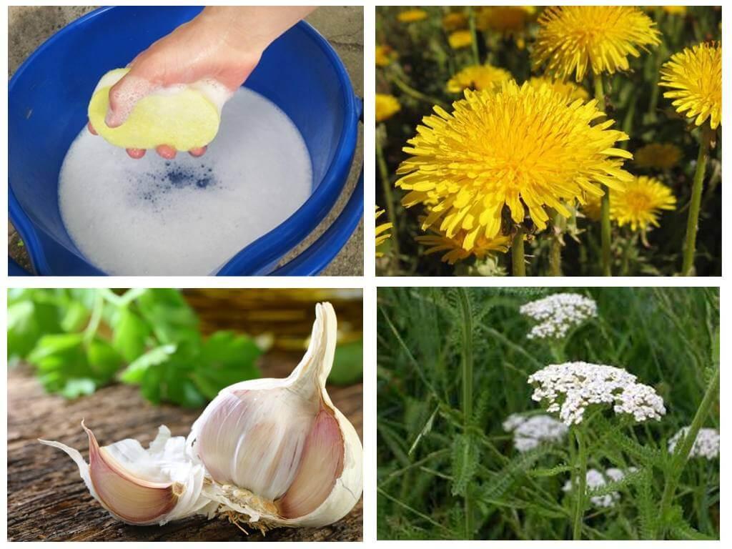Народные рецепты защитят растение от вредителей