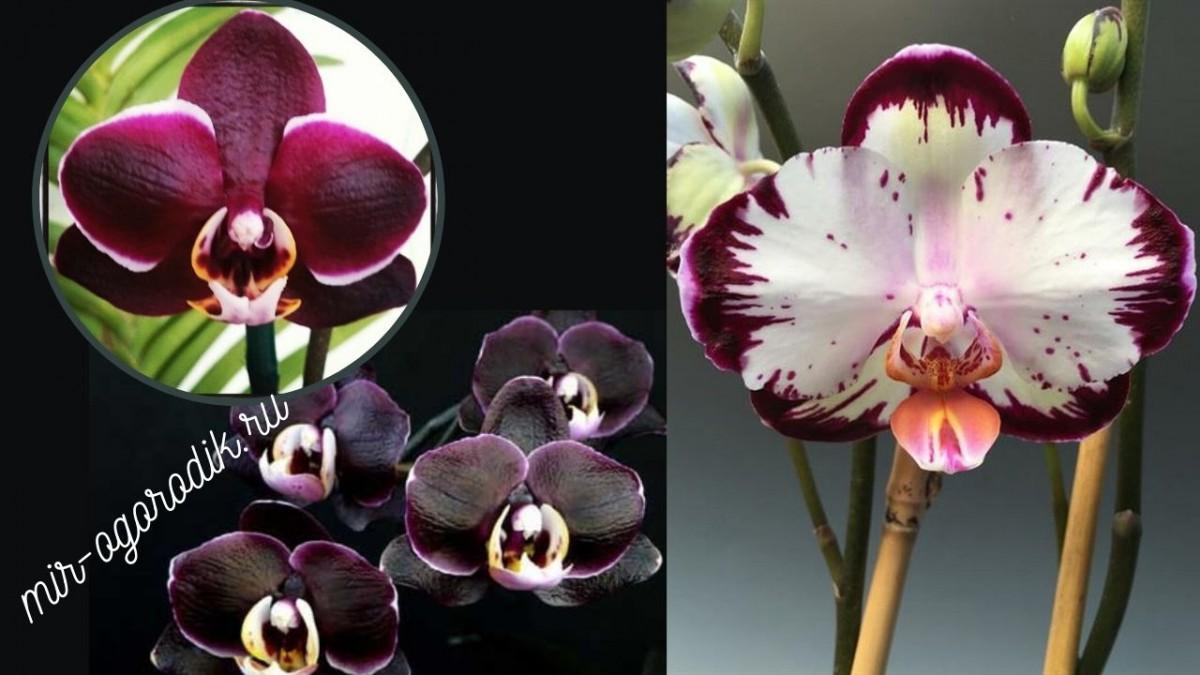 Орхидея Ever spring prince