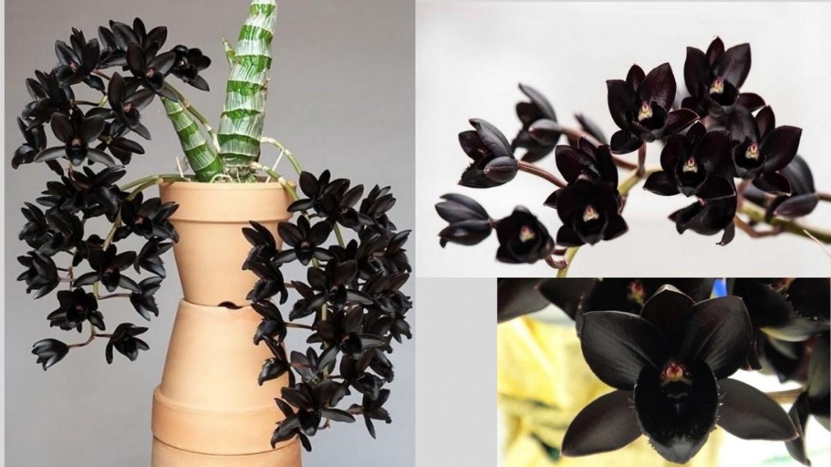 Орхидея Фредкларкиада