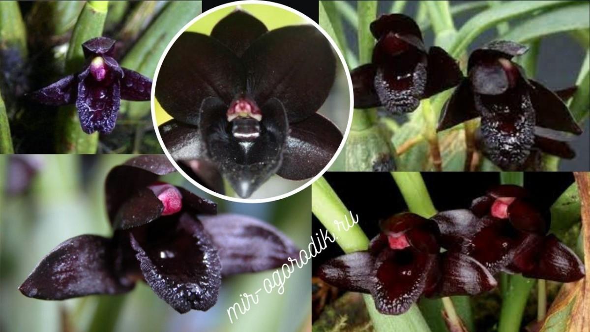 Орхидея Maxillaria schunkeana
