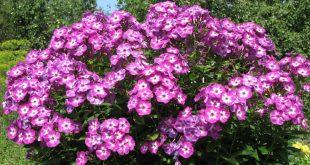 Яркие кусты украшают сад с мая до середины октября