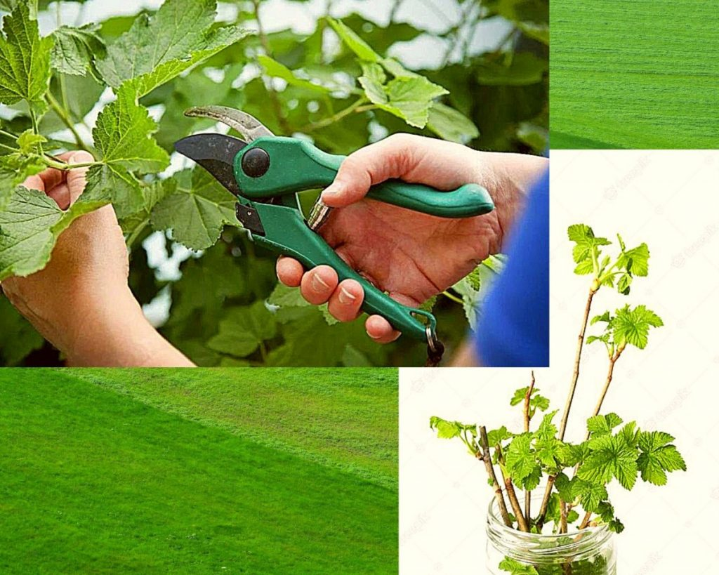 zelenye-cherenki-smorodiny
