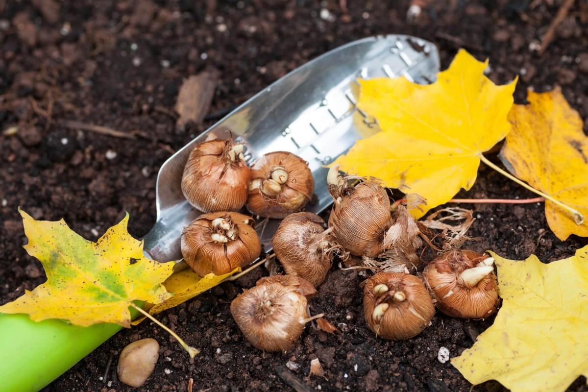 Выкопанные луковицы хранят до осени, потом снова высаживают