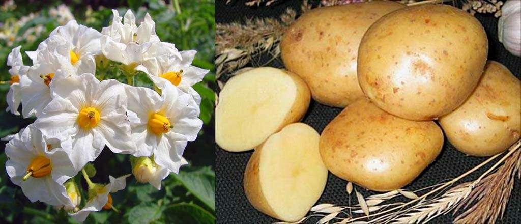 Цветки и картофель