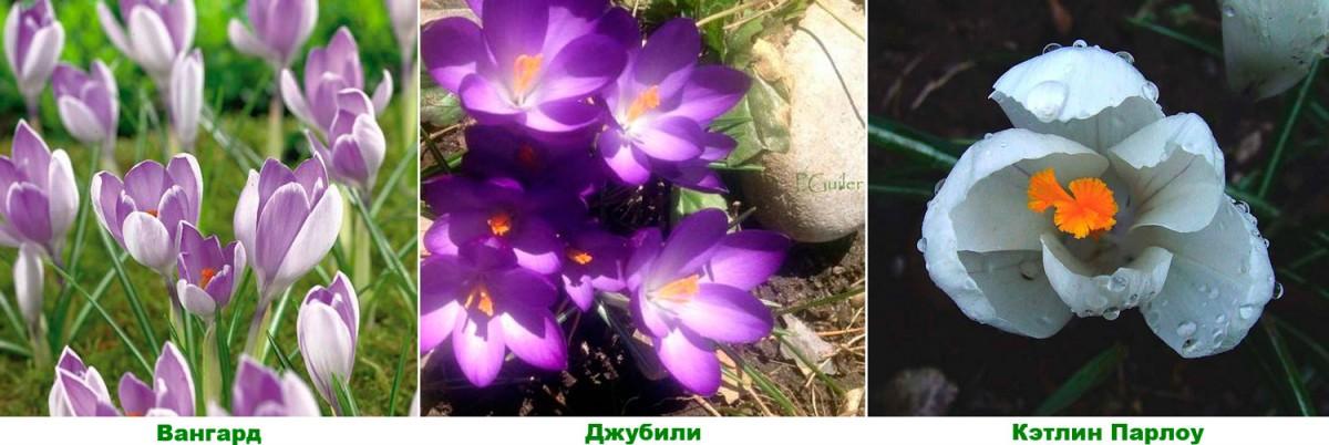 Популярные крупноцветковые сорта