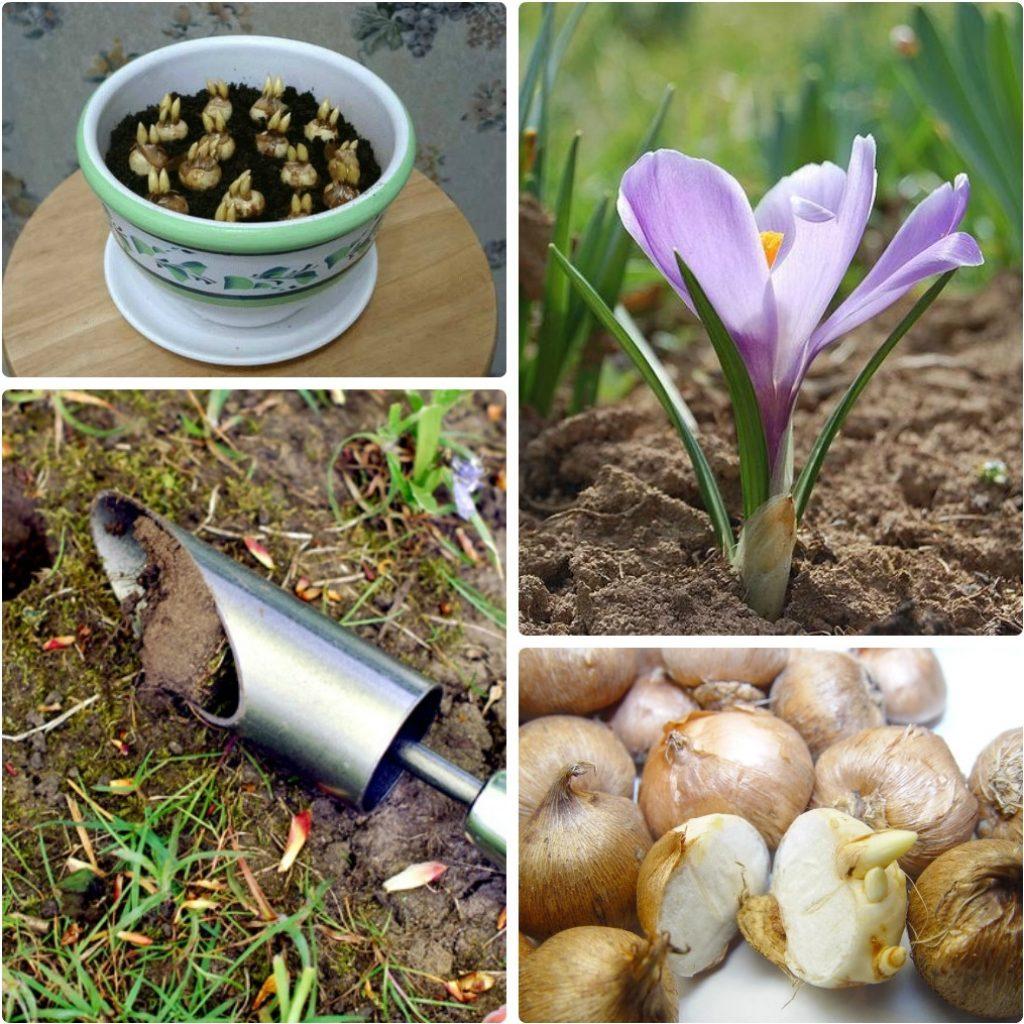 Шафран выращивают в грунте и горшках