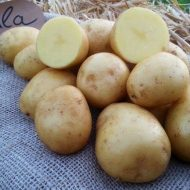 Картофель гала: как вырастить, ухаживать и хранить