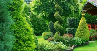 Туи в саду